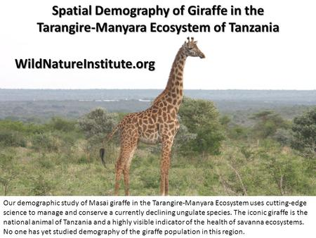 Spatial Demography of Giraffe in the Tarangire-Manyara Ecosystem of Tanzania Our demographic study of Masai giraffe in the Tarangire-Manyara Ecosystem.