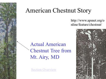 American Chestnut Story Actual American Chestnut Tree from Mt. Airy, MD  nline/feature/chestnut/ Section Overview.