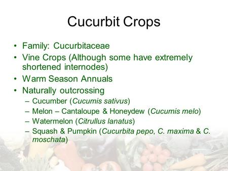 Cucurbit Crops Family: Cucurbitaceae Vine Crops (Although some have extremely shortened internodes) Warm Season Annuals Naturally outcrossing –Cucumber.
