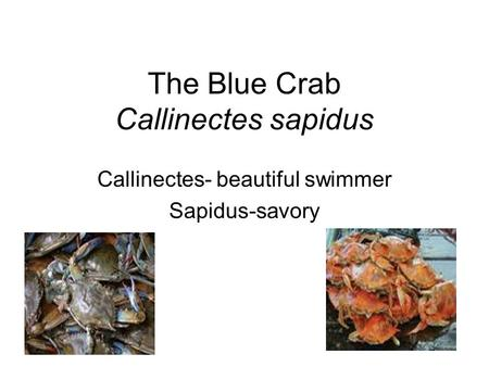 The Blue Crab Callinectes sapidus Callinectes- beautiful swimmer Sapidus-savory.