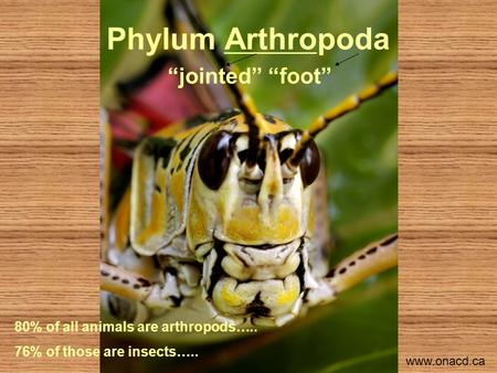 "Phylum Arthropoda ""jointed"" ""foot"" 80% of all animals are arthropods….. 76% of those are insects….. www.onacd.ca."