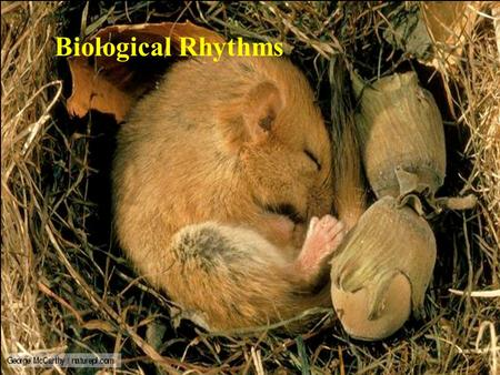 Biological Rhythms. Biological Rhythms – terms and characteristics Rate of activity Time Amplitude – magnitude of change in the activity Period – time.