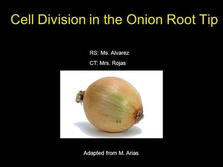 Cell Division in the Onion Root Tip RS: Ms. Alvarez CT: Mrs. Rojas Adapted from M. Arias.