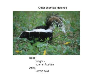 Other chemical defense Bees: Stingers Isoamyl Acetate Ants: Formic acid.