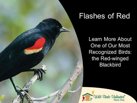 Learn More About One of Our Most Recognized Birds: the Red-winged Blackbird Flashes of Red.