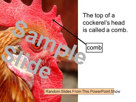 The top of a cockerel's head is called a comb. comb Random Slides From This PowerPoint Show Sample Slide.
