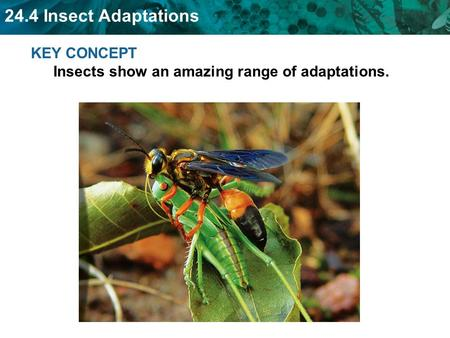 KEY CONCEPT  Insects show an amazing range of adaptations.