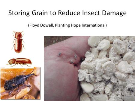 Storing Grain to Reduce Insect Damage (Floyd Dowell, Planting Hope International)