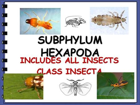 SUBPHYLUM HEXAPODA INCLUDES ALL INSECTS CLASS INSECTA.