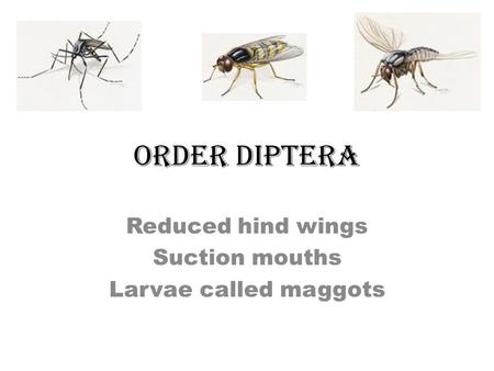 ORDER DIPTERA Reduced hind wings Suction mouths Larvae called maggots.