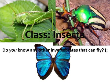 Do you know any other invertebrates that can fly? (; Class: Insecta.