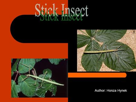 Author: Honza Hynek. Stick Insect is an insect. It has six legs and a long body. 0f course, it has two feelers. Somebody likes it, somebody hates it.