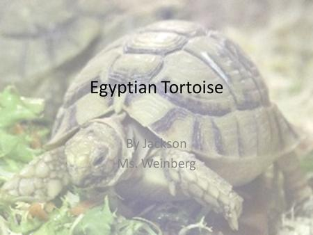 Egyptian Tortoise By Jackson Ms. Weinberg. Egyptian Tortoise.