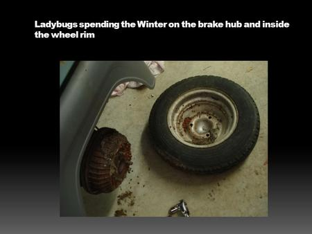 Ladybugs spending the Winter on the brake hub and inside the wheel rim.