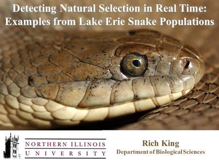 Rich King Department of Biological Sciences Detecting Natural Selection in Real Time: Examples from Lake Erie Snake Populations.