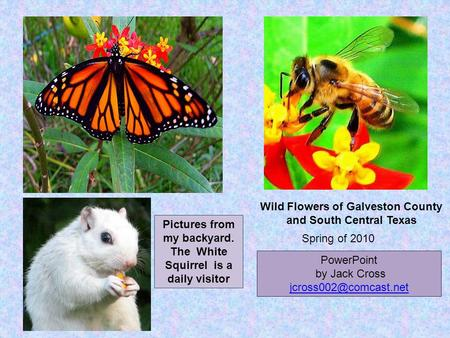 Pictures from my backyard. The White Squirrel is a daily visitor PowerPoint by Jack Cross Spring of 2010 Wild Flowers of Galveston.
