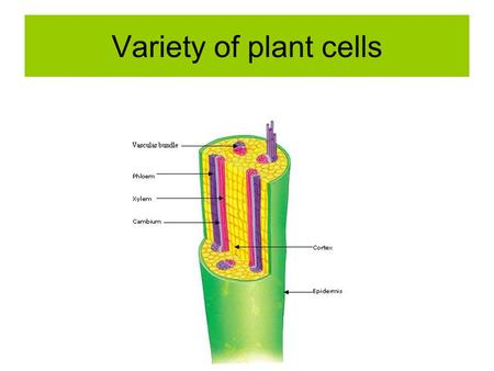 Variety of plant cells. There are 2 types of vascular (transport) tissue found throughout the plant. Xylem tissue consists of 1. Xylem vessels.