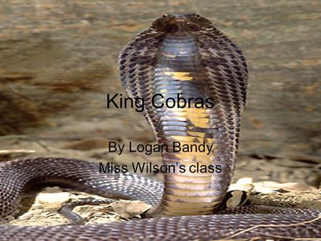King Cobras By Logan Bandy Miss Wilson's class. Interesting facts King cobras are the largest venomous snake in the world. They can grow up to 18 feet.