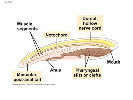 Fig. 34-3 Dorsal, hollow nerve cord Anus Muscular, post-anal tail Pharyngeal slits or clefts Notochord Mouth Muscle segments.