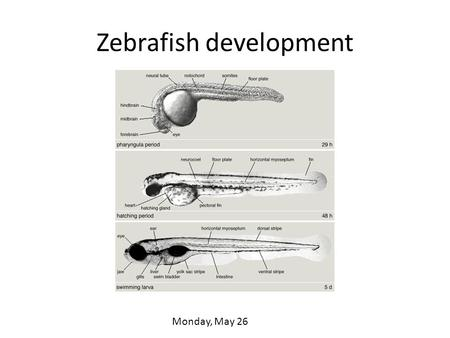 Zebrafish development Monday, May 26. Zebrafish An ideal subject for imaging and manipulation. Very small species of minnow Native to the Ganges region.