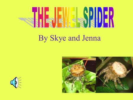By Skye and Jenna Male Jewel Spiders are much smaller then female Jewel Spiders. These spiders are very timid creatures and they don't normally leave.