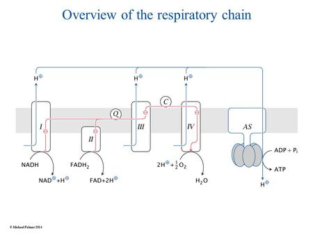 Overview of the respiratory chain © Michael Palmer 2014.