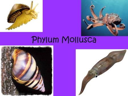 Phylum Mollusca. What is a mollusk? PHYLUM MOLLUSCA Slugs, snails, and squids are all mollusk. There is a wide variety of animals in this phylum— from.