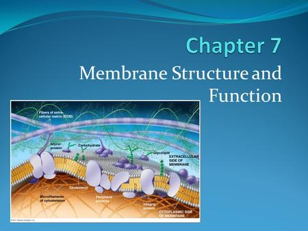 Membrane Structure and Function. What You Must Know: Why membranes are selectively permeable. The role of phospholipids, proteins, and carbohydrates in.
