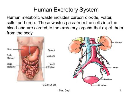 Mrs. Degl1 Human Excretory System Human metabolic waste includes carbon dioxide, water, salts, and urea. These wastes pass from the cells into the blood.