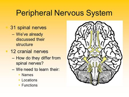 Peripheral Nervous System   31 spinal nerves – –We've already discussed their structure   12 cranial nerves – –How do they differ from spinal nerves?