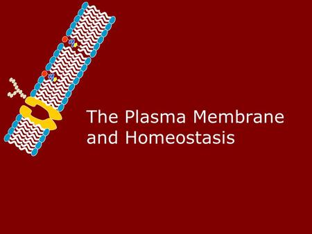 The Plasma Membrane and Homeostasis Homeostasis – Maintaining a Balance.