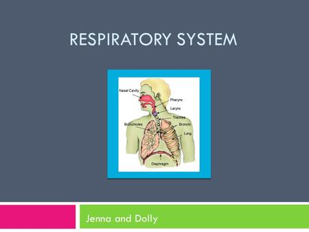 RESPIRATORY SYSTEM Jenna and Dolly. The Respiratory System Fun Fact The right lung is always a bit bigger than the left.  made of series of organs 