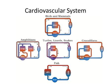 Cardiovascular System. Cardiac Muscle involuntary striated have only a single centrally located nuclei exhibit branching Consist of two separate networks: