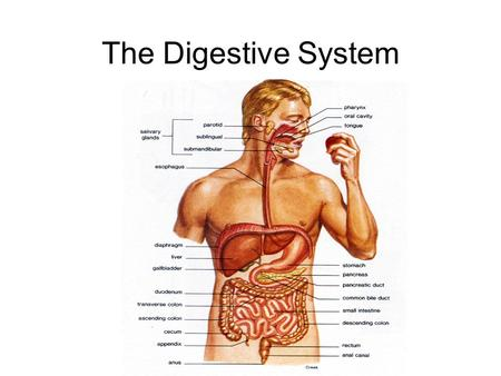 The Digestive System. Homework Chapter 6.3 – Practice Problems 1-3 Section 6.4 – Practice Problems 1-5 Section 6.5 – Practice Problems 1-6 Copy Figure.