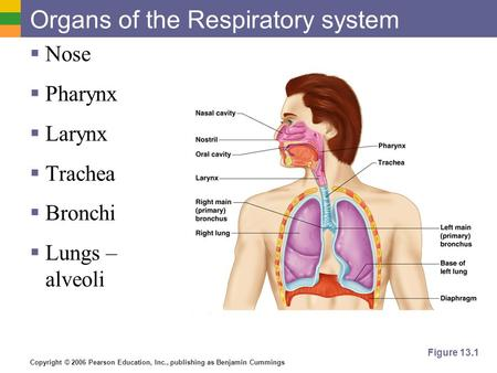 Copyright © 2006 Pearson Education, Inc., publishing as Benjamin Cummings Organs of the Respiratory system  Nose  Pharynx  Larynx  Trachea  Bronchi.