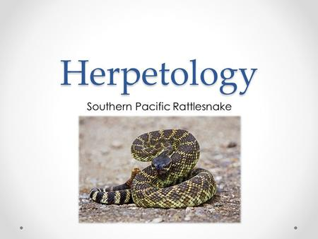 Herpetology Southern Pacific Rattlesnake. Stats: o 4-5 ft. o Greenish – black, diamonds on back o Front-fanged o Hemotoxic venom, attacking blood Crotalus.