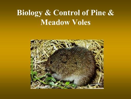 Biology & Control of Pine & Meadow Voles. Biology of Voles 2 species in SC –Pine vole (underground) - root damage nests underground –Meadow vole (above.