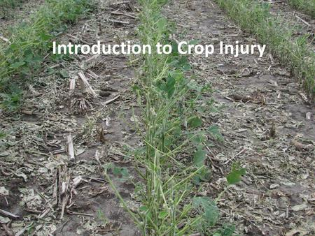Introduction to Crop Injury. Outline What is a noninfectious disorder? Differences between noninfectious disorders and disease Symptoms and what to look.