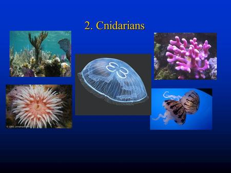 2. Cnidarians. Next evolutionary jumpNext evolutionary jump –Cells form tissues that perform specific functions Sometimes called coelenteratesSometimes.