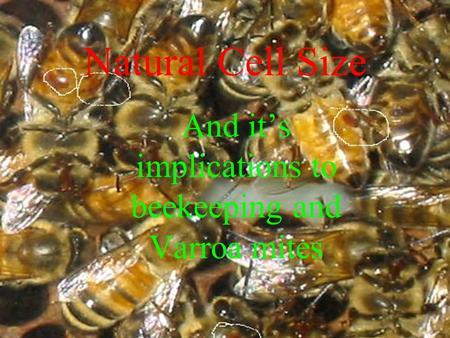 And it's implications to beekeeping and Varroa mites Natural Cell Size.