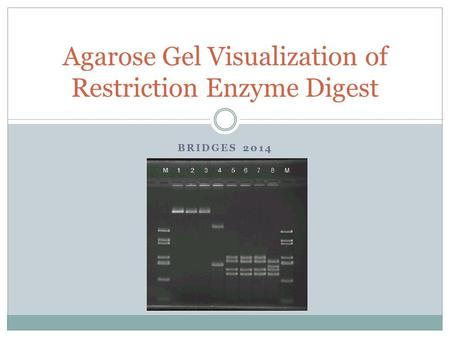 BRIDGES 2014 Agarose Gel Visualization of Restriction Enzyme Digest.