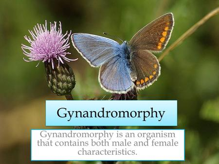 Gynandromorphy Gynandromorphy is an organism that contains both male and female characteristics.
