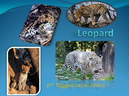2 nd biggest cat in Africa. Table of contents Description Size Diet Enemies Facts.