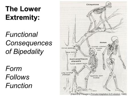 (From J.G. Fleagle's Primate Adaptation & Evolution, 1988) The Lower Extremity: Functional Consequences of Bipedality Form Follows Function.