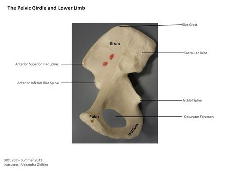 The Pelvic Girdle and Lower Limb Ilium Ischium Pubis Obturator Foramen Ischial Spine Sacroiliac Joint Iliac Crest Anterior Superior Iliac Spine Anterior.