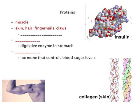 Regents Biology collagen (skin) Proteins insulin –muscle –skin, hair, fingernails, claws ______________________ –_____________ digestive enzyme in stomach.