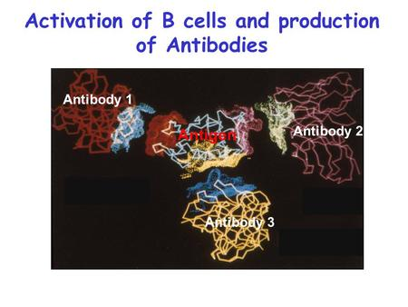 Activation of B cells and production of Antibodies Antigen Antibody 1 Antibody 3 Antibody 2.
