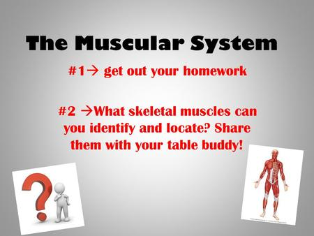 The Muscular System #1  get out your homework #2  What skeletal muscles can you identify and locate? Share them with your table buddy!