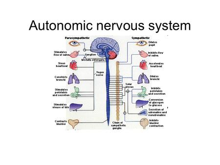 Autonomic nervous system. Intro Autonomic nervous system (ANS) –Sympathetic nervous system (SNS) Fight or flight –Major nerve: Sympathetic chain »Major.
