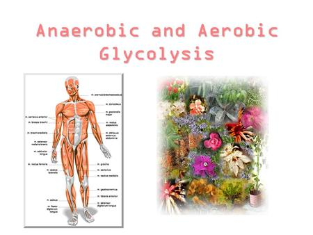 Anaerobic and Aerobic Glycolysis. Topics that will be covered… ~Overview of Glycolysis and description of the pathway ~Divergence to anaerobic metabolism.